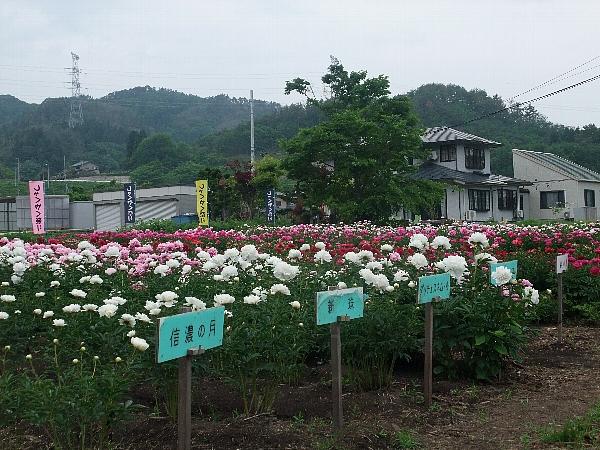 shakuyaku2013_3